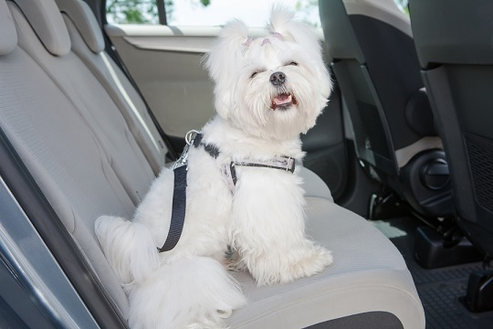 dog in car harness
