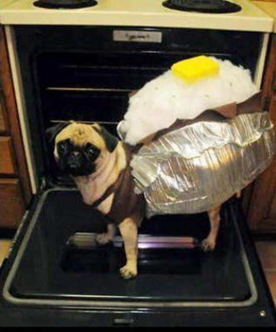 pug in a potato outfit