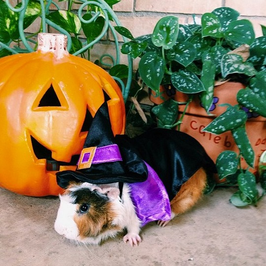 guinea pig as a witch