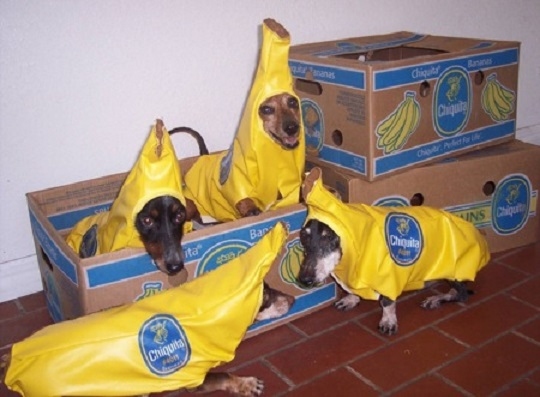 dogs dressed as bananas